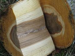 16Sep26 184 (diffuse) Tags: arborist cutting logging treeremoval backyard trunks cut