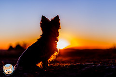 36/52 Sunrise (ChaosTrickserAlfi) Tags: 52weeksfordogs 52wochenalfi yorkie yorkshireterrier sunrise sonnenaufgang
