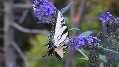 Swallowtail Boogie (AngelVibePhotography) Tags: butterflies animal video arthropods yellow insects macro nikon nikonp900 closeup tigerswallowtail nature insect swallowtail northcarolina outdoor butterfly