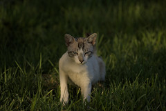 Malote (Ru GarFer) Tags: extremadura badajoz llerena campiña sur rivera ribera molinos gato feliscatus blanco rayado ojos azul mirada hierba suelo avance mamífero felino