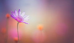 Colorful blurs (Dhina A) Tags: sony a7rii ilce7rm2 a7r2 samyang 135mm f20 f2 samyang135mmf20 bokeh wildflower flowr garden colors fusion painting