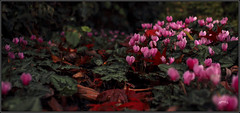 Autumn Pink. (Picture post.) Tags: autumn flowers cyclamen pink interestingness