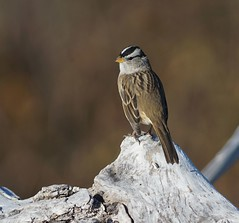 White-crowned Sparrow (vladimir_dotsenko) Tags: songbird sparrow whitecrowned olympic np washington state nature wildlife