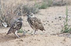 Burrowing Owl Pair (Athene cunicularia); Los Lunas, NM [Lou Feltz] (deserttoad) Tags: nature newmexico bird wildbird raptor owl desert behavior migration