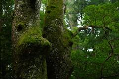 20160917 Ise 7 (BONGURI) Tags:    jp green forest tree lump       shrine sintoshrine  isejingu jingu   naiku  koutaijingu  tenshokoutaijingu  amaterasimasusumeoomikami  ise  mie  nikon df afsnikkor50mmf18gspecialedition