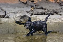 miles_h (bmullaney1) Tags: lab puppy labrador retriever blacklabs
