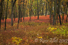 Wild Blueberry Forest (rellet17) Tags: trees fall leaves october dunes indiana fallfoliage lakeshore indianadunesnationallakeshore