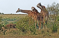 Messing Around (Picture Taker 2) Tags: africa morning nature beautiful outdoors colorful pretty native wildlife giraffe unusual wilderness masaimara wildanimals africaanimals sunkissedwildanimals specanimal animalkingdomelite naturewatcher