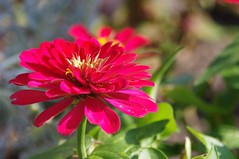 Magenta zinnia (Aliparis) Tags: flower nature louisiana magenta explore zinnia