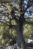 Carrasca- oak tree- Eiche (Marlis1) Tags: trees oak castellon eiche roure steineiche elsports carrasca quercussp vallibona marlis1 canoneos1000d