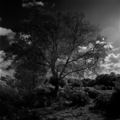 Trees of Ocknell Plain - III (Skink74) Tags: uk autumn england sky blackandwhite bw tree 120 6x6 film grass clouds rollei ir mono hampshire bronica lensflare heath flare infrared rodinal plain shrubs newforest gorse r72 standdevelopment s2a highlandwater ir400 ocknellplain zenzabronicas2a ocknellinclosure zenzanonmc40f4 infrared400 zenzanonmc40mm14 s2am050 filmdev:recipe=8005