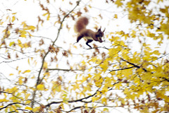 Yippee! (CitySor) Tags: nature flying jump jumping redsquirrel egern