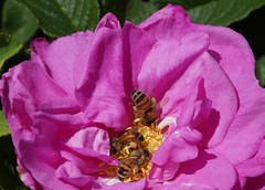506 (adze45) Tags: flower rose flora sydney rosa australia bee parramatta rosaceae simplyflowers