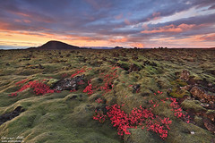 Patterns of Red - Lava Field at Reykjanes, Iceland (orvaratli) Tags: autumn sunset red color fall lava iceland helgafell volcanic reykjanes arcticphoto