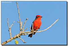 Vermilion Flycatcher (Fraggle Red) Tags: tree male bird canal nationalpark florida bluesky farmland evergladesnationalpark vermilionflycatcher flycatcher pyrocephalusrubinus floridacity canonef100400mmf4556lisusm enp c111 specanimal fallmigration ontheroadto miamidadeco canoneos5dmarkiii adobelightroom41 5d3 birdperfect 5diii