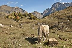 Valle de Otal (Anvica) Tags: mountain cow huesca dale sony valle valley montaña pyrenees vaca pirineo otal a350