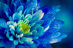 Blue Chrysanthemum (H e l l y) Tags: uk flowers blue england flower color colour macro nature floral fleurs canon botanical petals happiness 100mm dew waterdrops helly floras bluechrysanthemum mygearandme mygearandmepremium mygearandmebronze