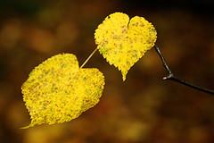 Hearts of Gold (gwiwer) Tags: autumn leaves yellow leaf herbst gelb blatt bltter knigsforst