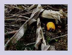 Rest (Heide (vorher roeschen56)) Tags: natur feld mais ernte