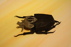 Goliath Beetle (JesseBorigami) Tags: color paper origami tissue beetle stripe fold goliath unryu folding goliathus
