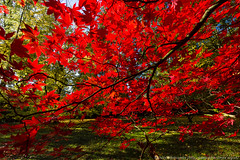 Bright red Japanese Acer (maple) leaves backlit by the sun (WhitcombeRD) Tags: park wood autumn light red sky terrain orange brown sun sunlight plant abstract color tree green fall nature beautiful beauty field grass leaves yellow rural forest garden season landscape outdoors one golden countryside maple healthy oak woods scenery colorful warm view natural bright outdoor vibrant grow sunny ground scene fresh foliage westonbirt acer mapleleaf land backgrounds romantic environment backlit shape acerpalmatum scenics japaneseacer landbased