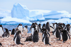 Antarctica-111123-491 (Kelly Cheng) Tags: travel white snow black color colour tourism nature water animals horizontal fauna landscape island penguins daylight colorful day outdoor vivid antarctica nobody nopeople iceberg colourful traveldestinations gentoopenguin cuvervilleisland antarcticpeninsula