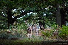 Deer Exit (ShotHotspot.com) Tags: ass forest walking back stag arse doe bum surrey deer kingston hareem richomndpar shothotspotcom