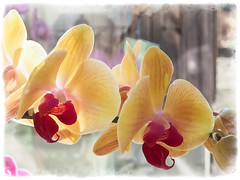 Orchid Series 02 (c.huller) Tags: flowers plants orchid blossoms frame drybrush onone