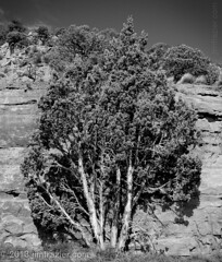 Lone Tree I (Jim Frazier) Tags: trees summer blackandwhite bw plants mountains nature monochrome flora colorado rocks alone natural pov sunny august symmetry cliffs single co lone symmetrical desaturated lonely geology roadside solitary perpendicular centered isolated q3 lonetree grandjunction 2012 headon centralperspective ldjanuary jimfraziercom 20120803westernroadtrip wmembed ld2013