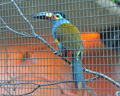 bird zoo toucan cage sandiegozoo platebilled mountaintoucan