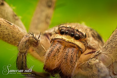 Eye arrangement of a common hosehold spider (Sameeran_Nath) Tags: india macro green eye 50mm spider eyes background f16 f18 household arrangement arthropods nath 600d sameeran