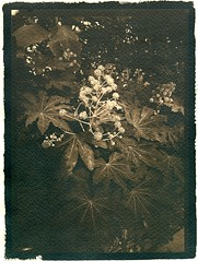 Inflorescence (Philippe Torterotot) Tags: analog largeformat cyanotype argentique 5x7 alternativeprocess cambo fomapan100 altprocess grandformat tonned iledenantes
