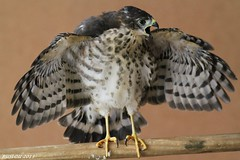 Juvenile Little Sparrowhawk ( Accipiter minullus) (ruslou (More off than on)) Tags: nature southafrica hawk pretoria ruslou littlesparrowhawk kleinsperwer accipiterminullus africanlittlesparrowhawk juvenilelittlesparrowhawkaccipiterminullus