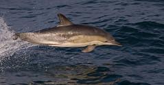 Common Dolphin (Delphinus delphis) (Ronan.McLaughlin) Tags: ocean blue ireland sea irish white nature water coast nikon marine wildlife atlantic maritime d90 irishwildlife sigma150500 ronanmclaughlin