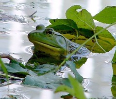 Bullfrog on Leaves (hardmile) Tags: nature water beautiful forest wildlife magic frog frogs amphibians