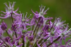 100512 (22) (deta k) Tags: flowers macro berlin germany deutschland flora natur pflanzen blumen blten botanischergartenberlin nikond5100