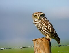 Mocho-galego | Little Owl  (Athene noctua) (Rosa Gamboias/ on vacation) Tags: sky naturaleza bird portugal nature birds animals fauna wildlife natureza ngc birding natura aves cu uccelli pjaros npc ave animais ornithology birdwatching pssaros oiseau owls oiseaux avifauna strigiformes littleowl athenenoctua strigidae vidaselvagem mochogalego ornitologia mochos avesderapina reservanaturaldoesturiodotejo rosagambias