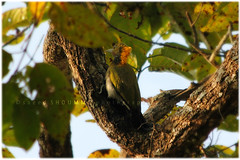 Greater Yellownape/    - (Shoummo ()) Tags: birds greater birdphotography yellownape birdsofbangladesh  birdofbangladesh saeedshoummo  shoummo    birdphotographybangladesh