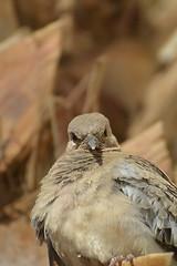 Angry Bird (Paul Hemmunt) Tags: nikond600 kenkopro300afdgx14x