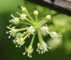American Spikenard Flowers (corey.raimond) Tags: americanspikenard spikenard flowers aralia araliaceae flower flora whiteflower wisconsin westernwisconsin araliaracemosa wisconsinwildflower