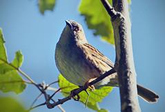IMGP2687 Dunnock/Hedge sparrow Zealandia Wellington 20-07-16 (Donald Laing) Tags: new zealand wellington zealandia wildlife sanctuary plants animals 2016 donald laing