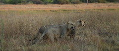 Lion Scent IV (www.mattprior.co.uk) Tags: adventure adventurer journey explore experience expedition safari africa southafrica botswana zimbabwe zambia overland nature animals lion crocodile zebra buffalo camp sleep elephant giraffe leopard sunrise sunset