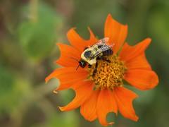 Bumble Bee (jello212) Tags: bee olympus micro43 insect omdem10 macro bumblebee