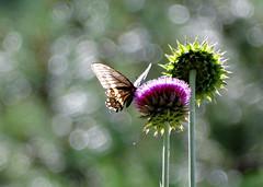 Black Swallowtail (Wild Bird Company) Tags: blackswallowtail papiliopolyxenes butterfly colorado boulder wildbirdboulder wildbirdcolorado wildbirdcompany formerwildbirdcenter birdseed birdwalk meyersgulch walkerranchopenspace bouldercountyparksandopenspace janebaryames