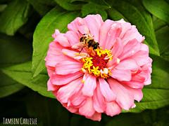 European Drone Fly on Zinia (tinlight7) Tags: fly hoverfly dronefly european flower garden bishkek kyrgyzstan zinia insect taxonomy:kingdom=animalia animalia taxonomy:phylum=arthropoda arthropoda taxonomy:subphylum=hexapoda hexapoda taxonomy:class=insecta insecta taxonomy:subclass=pterygota pterygota taxonomy:order=diptera diptera taxonomy:suborder=brachycera brachycera taxonomy:infraorder=muscomorpha muscomorpha taxonomy:family=syrphidae syrphidae taxonomy:subfamily=eristalinae eristalinae taxonomy:tribe=eristalini eristalini taxonomy:genus=eristalis eristalis taxonomy:species=tenax taxonomy:binomial=eristalistenax ristalegluant   droneflue mistbiene eristalistenax europeanhoverfly  rattailedmaggot  taxonomy:common=ristalegluant taxonomy:common= taxonomy:common=dronefly taxonomy:common= taxonomy:common=droneflue taxonomy:common=mistbiene taxonomy:common=europeanhoverfly taxonomy:common= taxonomy:common=rattailedmaggot taxonomy:common= inaturalist:observation=3867603