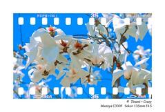 135FILM BY 120 (zhangrq_icbc) Tags: mamiya c330 film fuji rdp3 135 120 flower spring