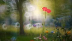 Poppy (Dhina A) Tags: flower prime mirror reflex md minolta bokeh sony f56 rf redpoppy rokkor 250mm sonyalpha rokkorx minolta250mmf56 a7rii a7r2 ilce7rm2