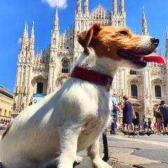 "Hot dog in Milano (""ricardahannemann"") Tags: inexplore explore hotdog city dog hund terrier jackrussell italia mailand milan dom duomo milano"