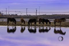DSC_3632 (sapunaralex) Tags: chile patagonia caballos nikon laguna reflejos magallanes puntaarenas humedal