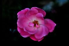 264 Rose (tsuping.liu) Tags: outdoor organicpatttern rose red redblack blackbackground bright blooming plant petal photoborder passion perspective pattern